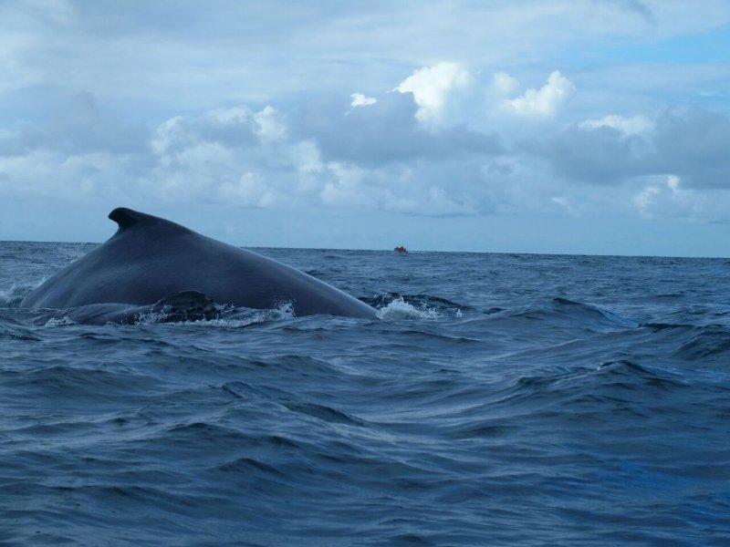 La observación de ballenas, mientras se dirigía a la Isla Iguana.