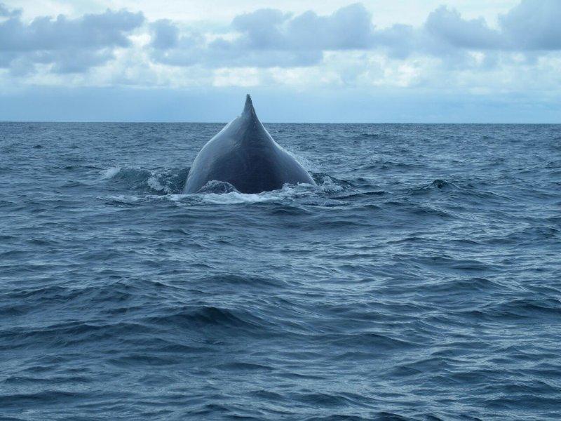La observación de ballenas está disponible a lo largo de la costa de la Península de Azuero.