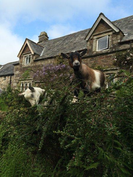 Ven a saludar a nuestras cabras enanas, Lilli y Noah!