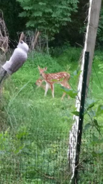 Twins deer that was raised on the property. Two creeks meet at the back of the property.