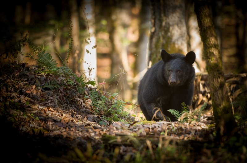Smokey Mountain Bear