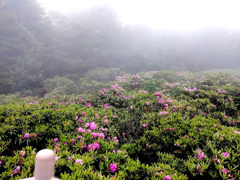 Rhododendron Garden on top of Roan Mountain
