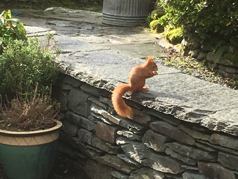 Red squirrel outside Rothay Lodge