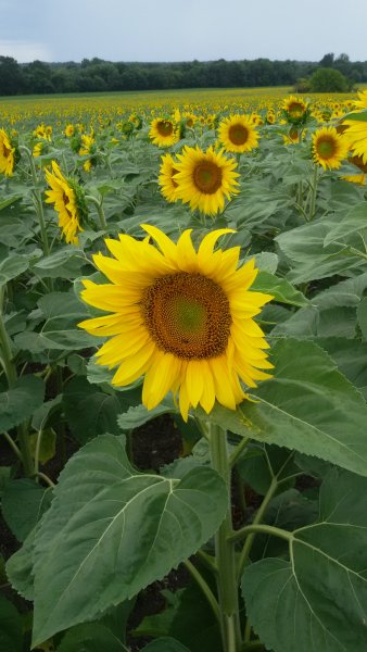 St George's is surrounded by fields of bright sunflowers.