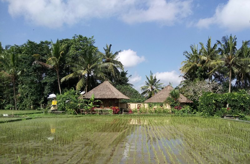 Newly planted rice field in front of Villa Vajra.