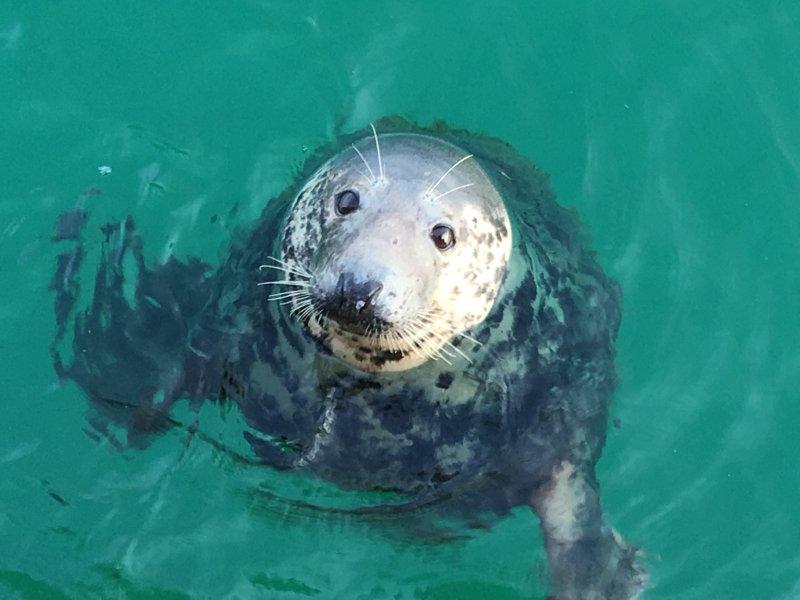 Sammy el sello en el puerto de St Ives