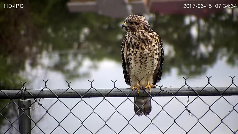 A red shouldered hawk  on our fence