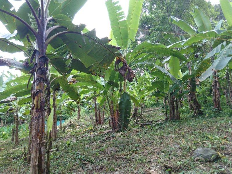 Los árboles de plátano