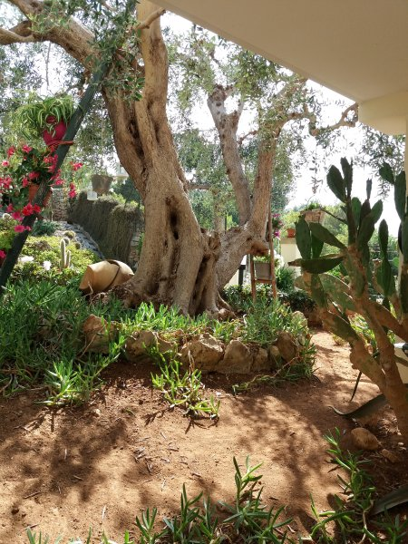 Garden with olive tree.