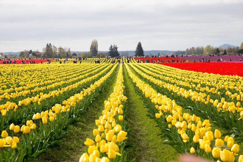Tulip Festival on Mt.Vernon