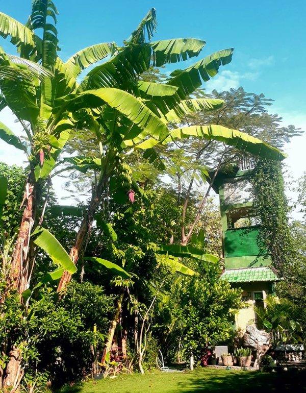Bananier Floraison