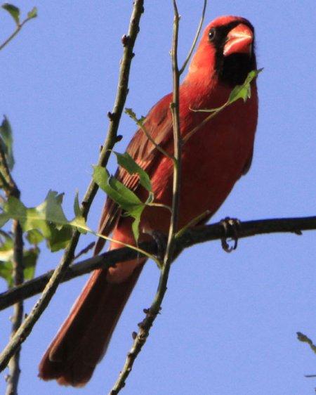 Cardinals abound