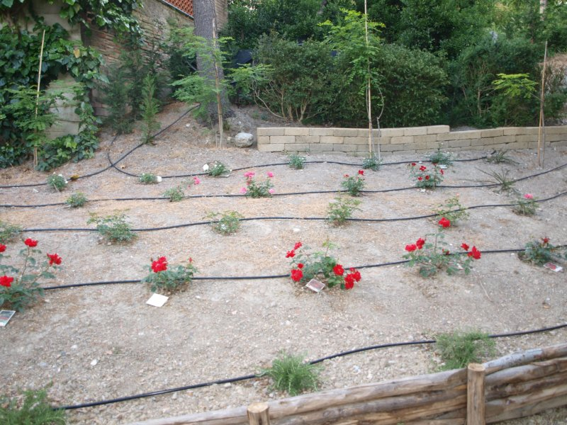 roses du grand jardin
