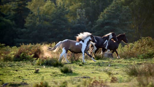 wild ponies of The New Forest