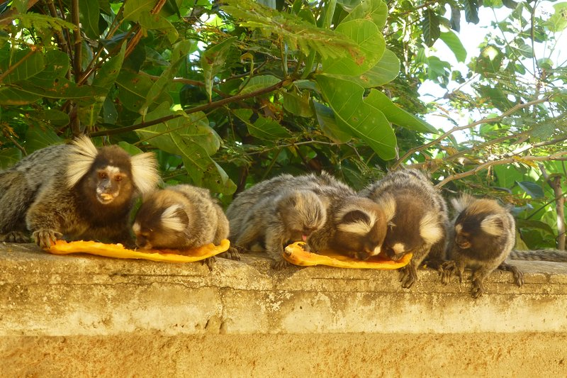 Little monkeys (sagui) in our garden: you can feed them fruit
