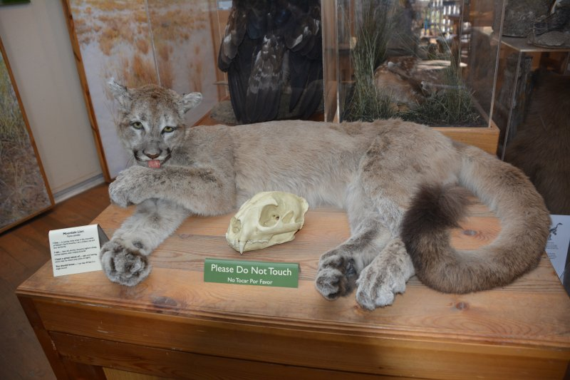 Local mountain lion at the ranger station at Chautuaqua Park
