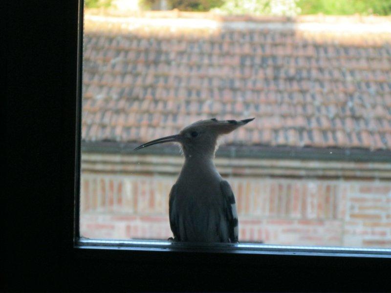 hoopoe on windowsill