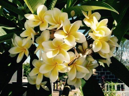 The Garden flowers Tropical. The Frangipani.