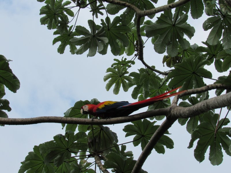 Scarlet MacCaws have been reintroduced to Manuel Antonio