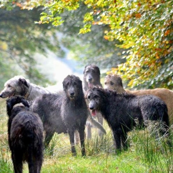 Our Irish Wolfhounds are friendly and welcoming