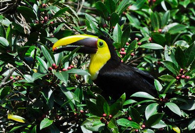 We have Two Kinds of Toucans!