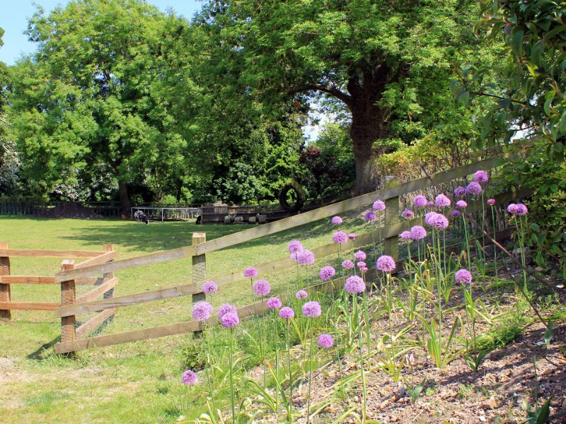 Distinctive alliums flowering in Russet's garden