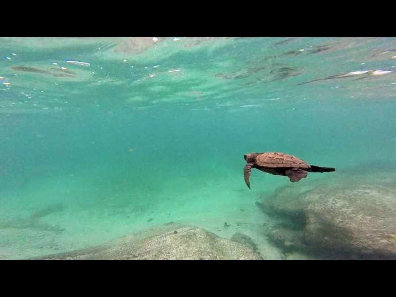 Loggerhead turtles can been seen swimming and nesting on beach