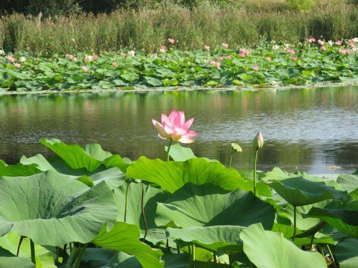 Les fleurs de lotus dans les étangs Sovenigo