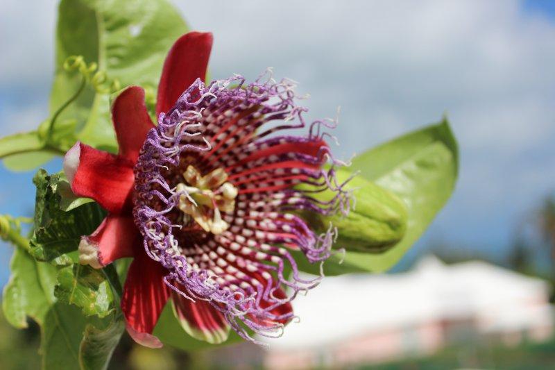 Passion Flower, groeien op ons eigendom.
