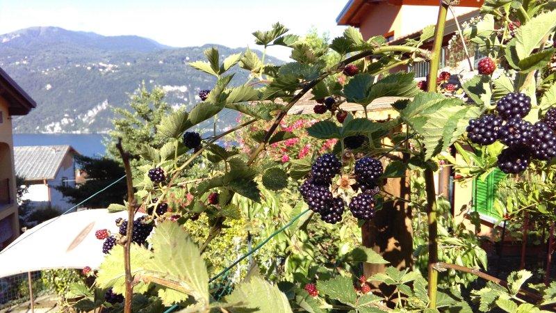 blckberries in june
