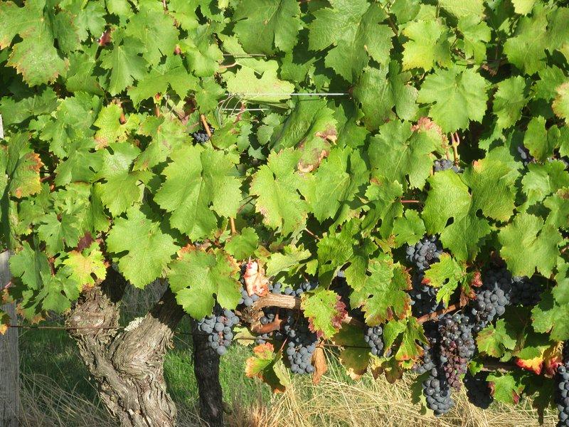 Raisins prêts pour la récolte juste à côté de La Bastide