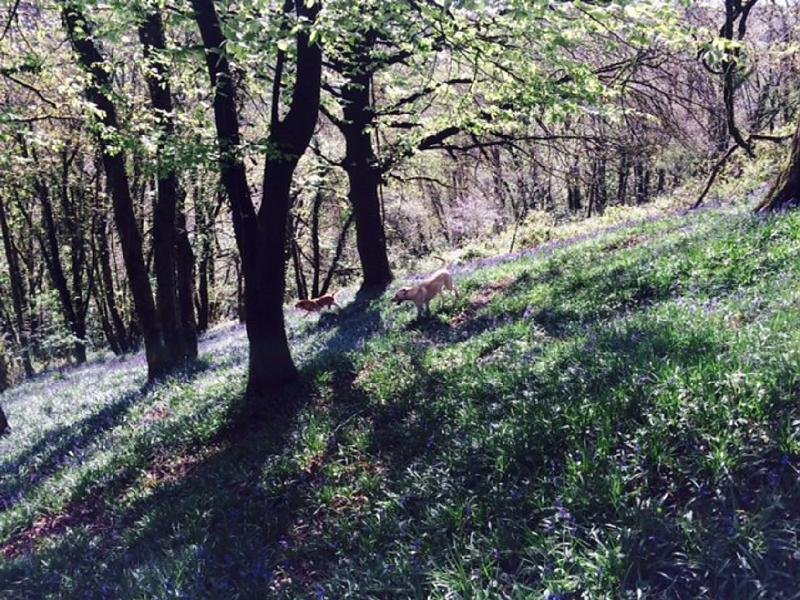 Bluebell woods in Garabridge
