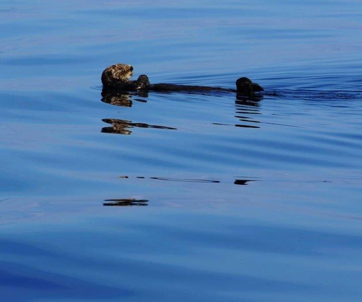 Sea Otter - Prince William Sound
