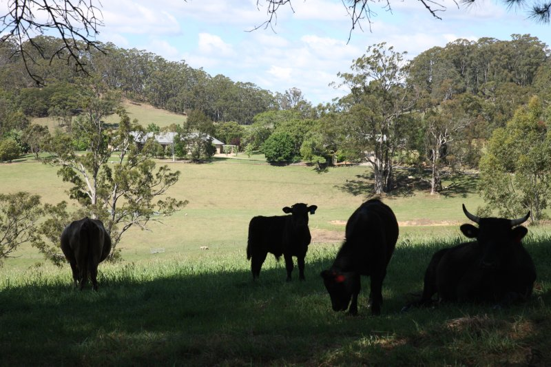Dexter cattle and property view