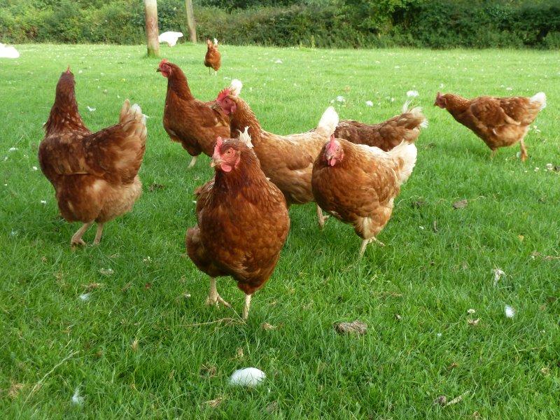 Onze Vrije uitloop kip zijn allemaal manieren blij om u te leggen uw ontbijt eieren.
