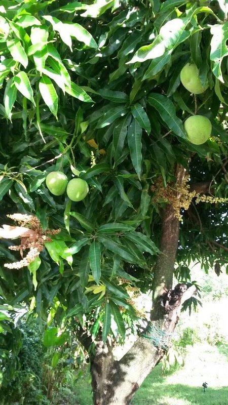 Our Mango Mango
