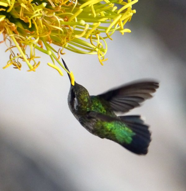 Guest Manfred the Wit made this nice picture of a green emerald hummingbird in my garden.