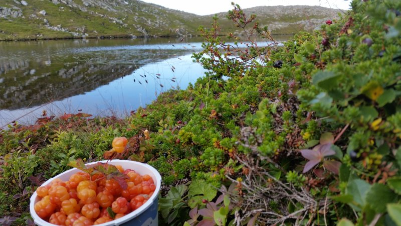 Cloud berry picking in the mountains around Mehamn