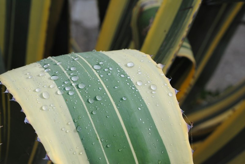 Agave with raindrops