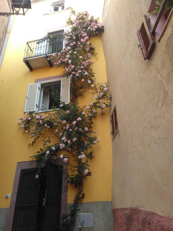 The climbing rose