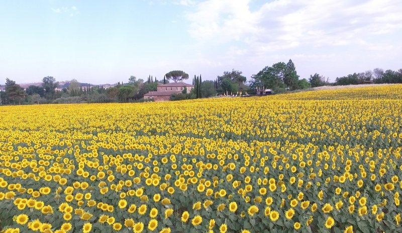 sunflowers all around us