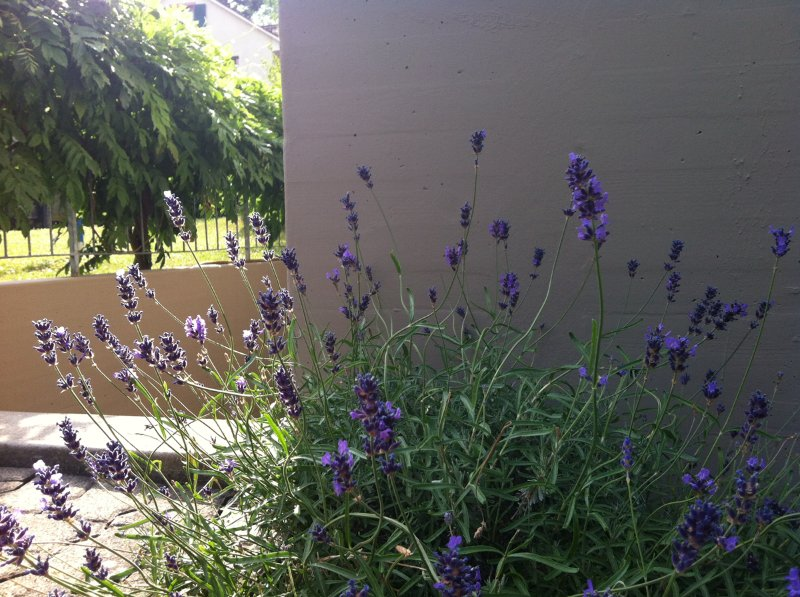 Outside of property, lavender blooming during whole summer time