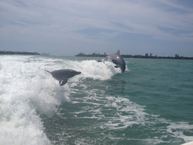 Dophins in the Gulf