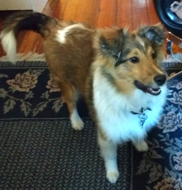 Copper the Idaho sheltie completes the greeting party.