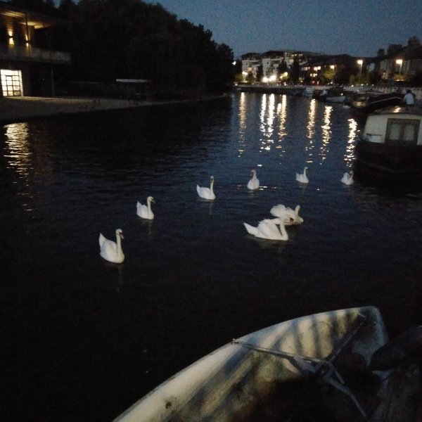 Mid autumn night swan danceing
