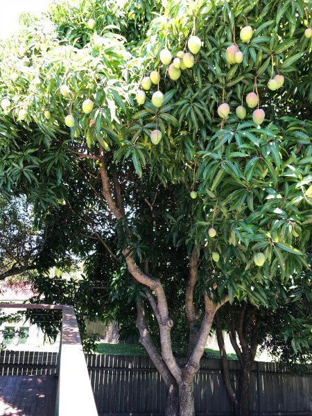 Mango tree of the back deck in mid January