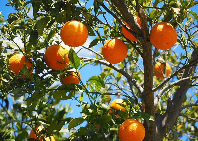 This orange tree grows right outside our bedrooms, its blossom fill each bedroom with its scent.
