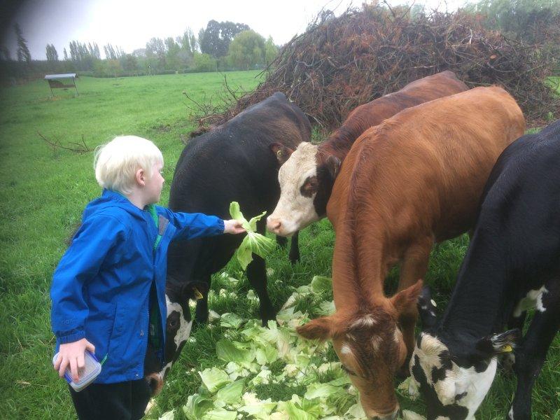 seasonal feeding of the friendly beef cows