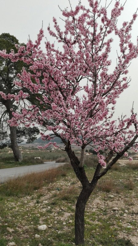 The almond blossom in February / March