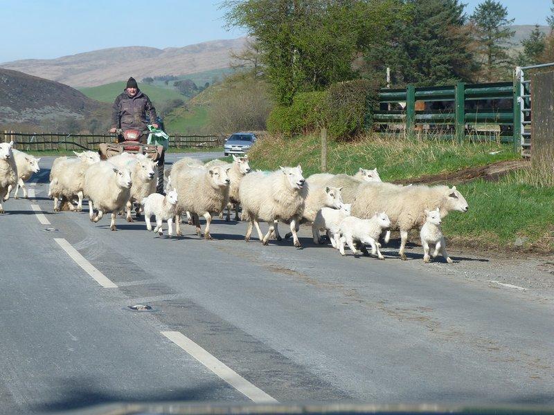 agneaux locaux